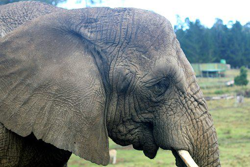 Elephant, Pachyderm, Grey, Animal, Zoo, Animal Portrait
