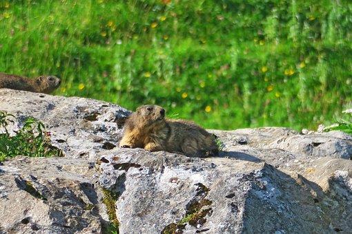 Nature, Animals, Mammal, Mountain, Marmot, Wild Animal