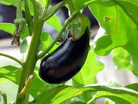 Vegetable, Eggplant, Food, Vegetable Garden, Bio