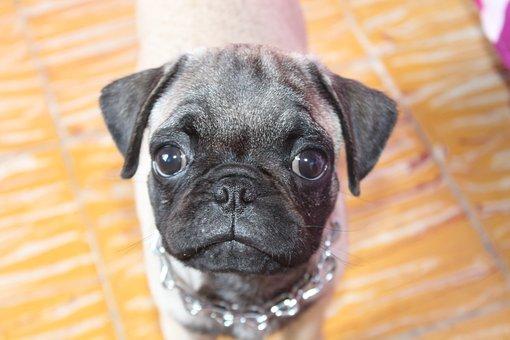 Pug, Dog, Pets, Breed Pug, Sweetness, Happy