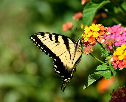 Swallow Tail, Butterfly, Insect, Beauty, Fragile