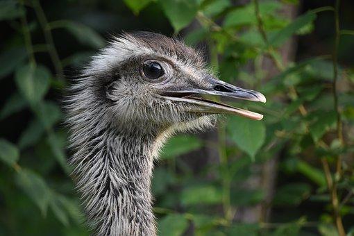 The Ostrich, Close-up, Head, Profile, Animal, Llama