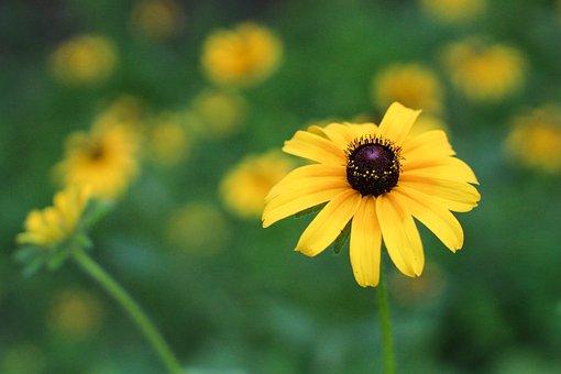 Flower, Black Eyed Susan, Floral, Nature, Blossom