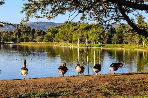 Lake Balboa, Domestic Geese, Lake, Water, Scenery