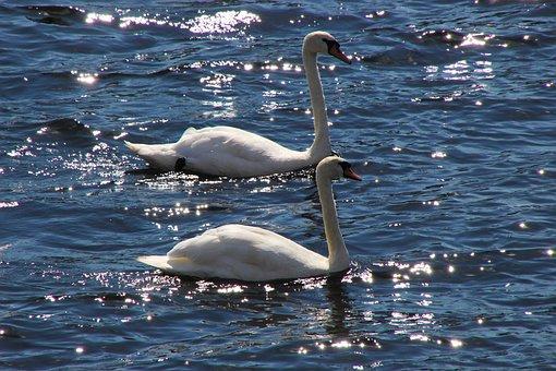 Swans, Birds, Wildlife, White, Lake, Nature, Plumage