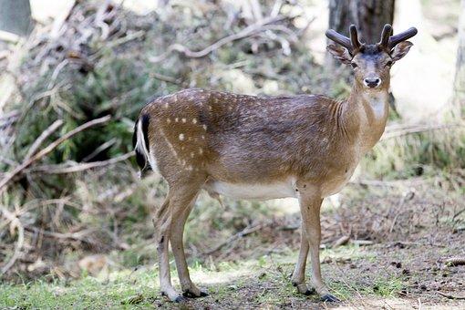 Deer, Animal, Horn, Wildlife, Forest, Mountain