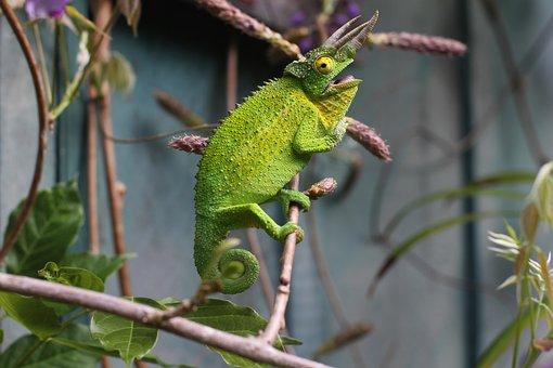 Lizard, Reptile, Green, Chameleon, Tree, Branch