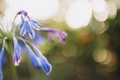 Blue, Petal, Flower, Bokeh