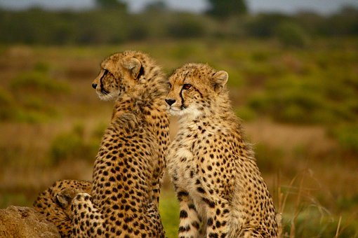Animals, Cheetah, Speed, Cat, Wild, Wilderness, Family
