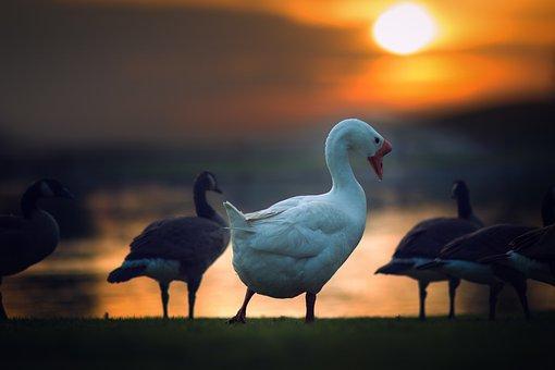 Duck, Animal, Bird, Green, Grass, Nature, Outdoor
