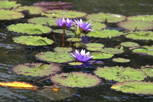 Lilly, Nature, Flower, Water, Central Park, Nyc