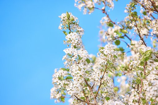 Flowers, Blossom, White, Beautiful, Aesthetic, Branch
