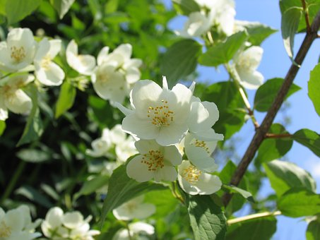Spring, Nature, Bloom, Jasmine, Beautiful Flower