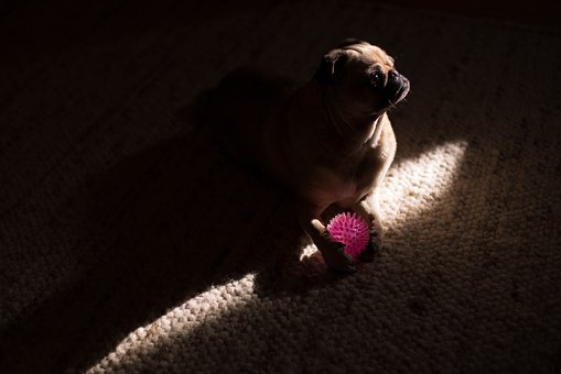 Dark, Room, Pug, Dog, Animal, Pet, Ball, Play, Carpet