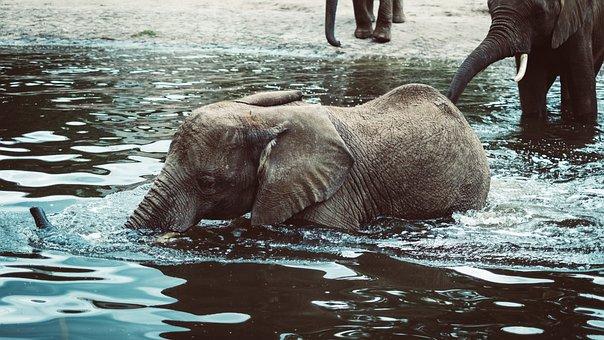 River, Lake, Animal, Elephant, Ears, Huge, Big, Cute