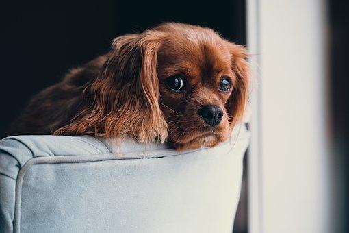 Puppy, Animal, Dog, Cute, Sofa, House, Home, Fur