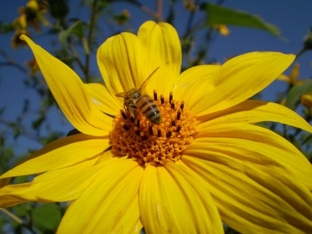 Yellow Flower, Bee, Hostal, Sucking