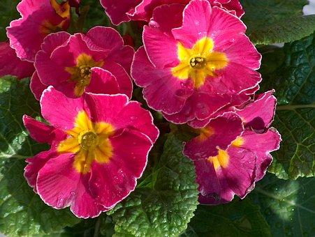 Cowslip, Plant, F, Petals, Plants, Flowers, Flower