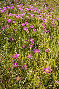 Flower, Macro, Purple, Pink, Nature, Plant, Green