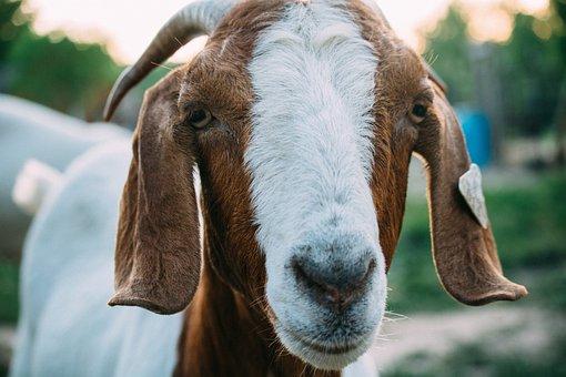 Animal, Goat, Snout, Mammal, White, Brown