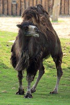Africa, Asia, Asian, African, Animal, Brown, Camel
