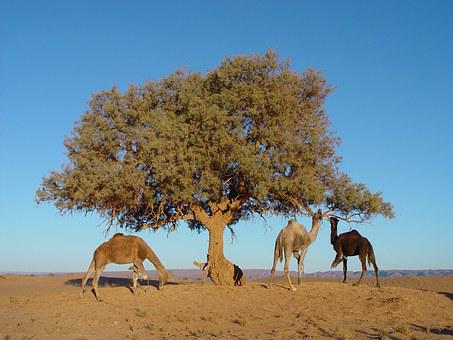 Morocco, Tree, Camel, Nature, Animal, Hump, Africa