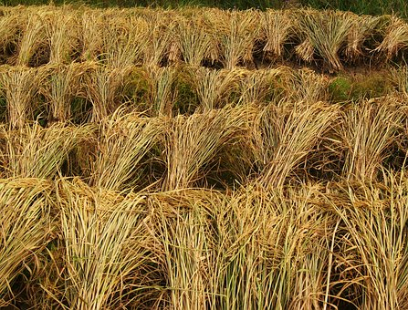 Rice, Harvest, Crops, Agriculture, Farm, Asia, Field