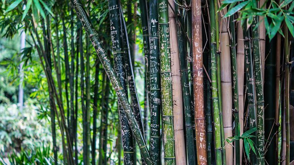 Bamboo, Tall, Trees, Plants, Flora, Thick, Dense, Green