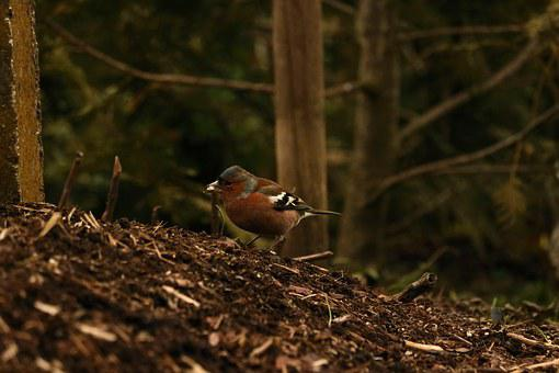 Chaffinch, Bird, Food, Animal, Songbird, Fink, Plumage