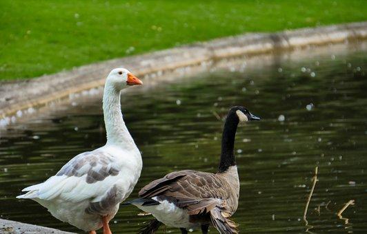 Geese, Duck, Pond, Park, Mons, Castle, Birds, Plumage