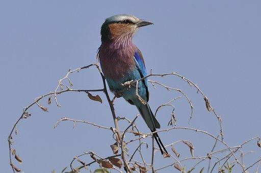Forked Roller, Botswana, Chobe River