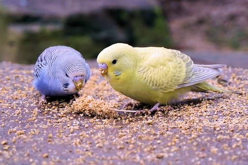 Budgie, Bird, Animal, Bill, Food, Animal World, Grains