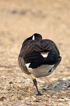 Canada Goose, Branta Canadensis, Birds, Nature