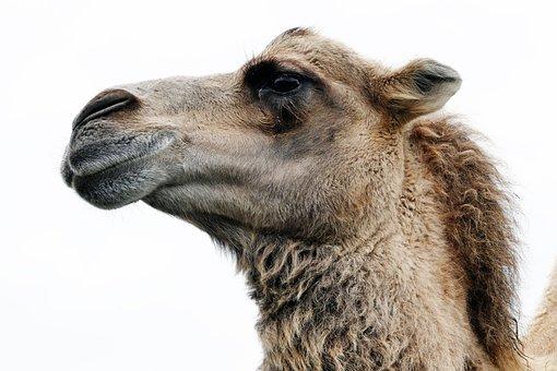 Animal, Camel, Nature, Mammal, Desert, African
