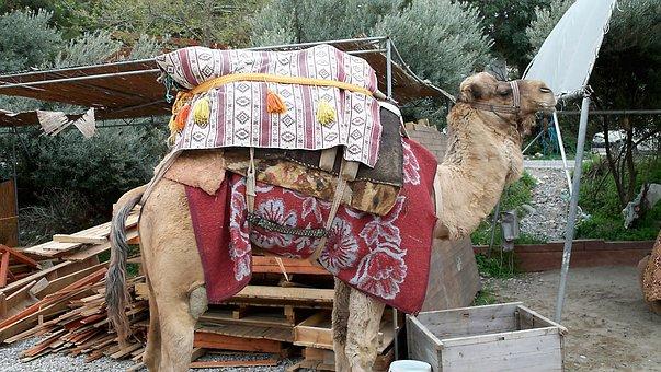 Camel, Dromedary, Desert, Turkey, Safari, Animal, Hump