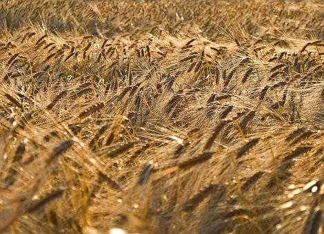 Grain, Field, Cereals, Agriculture, Nature, Ear