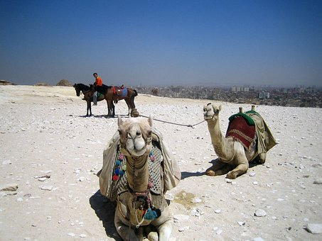 Camels, Egypt, Arab, Transportation, Hump, Safari