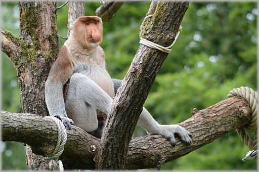 Proboscis Monkey, Monkey, Rare, Wild, Exotic, Forest