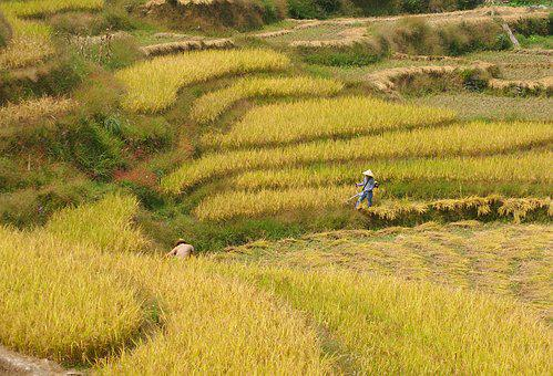 Rice, Harvest, Paddy, Crops, Agriculture, Field, Farm