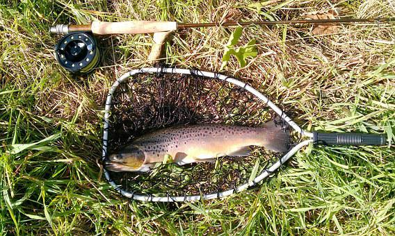 Fish, Trout, Fishing Rod, Fly Fishing, Fishing, Nature