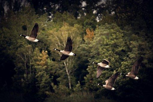 Autumn, Geese, Golden Autumn, Autumn Mood, Wild Goose
