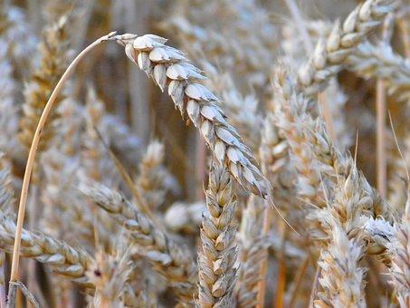 Wheat, Grains, Field, Cereals, Grain, Cornfield, Ear