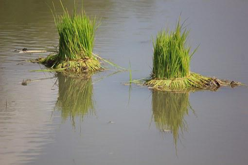 Rice Plant, Water, Shadow, Green, Agriculture, Farming