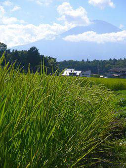 Rice, Rice Cultivation, Ear Of Rice, Green