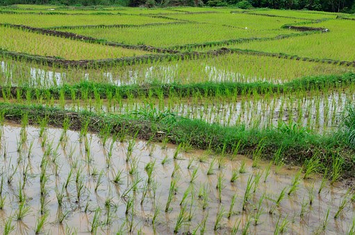 Rice Terrace, Rice, Green