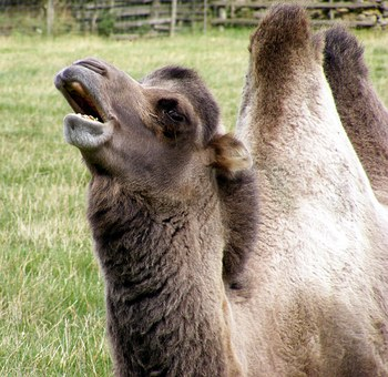 Animal, Camel, Humps, Outdoor, Farm, Meadow, Mouth