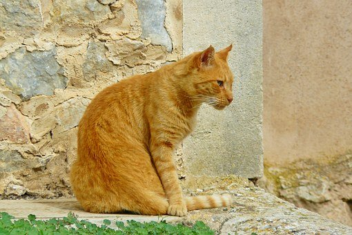 Cat, Animal, Pet, Domestic Cat, Mackerel