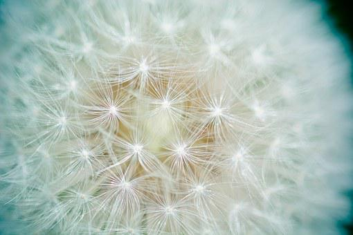 Dandelion, Seeds, Number Of Lion, Screen Pilot