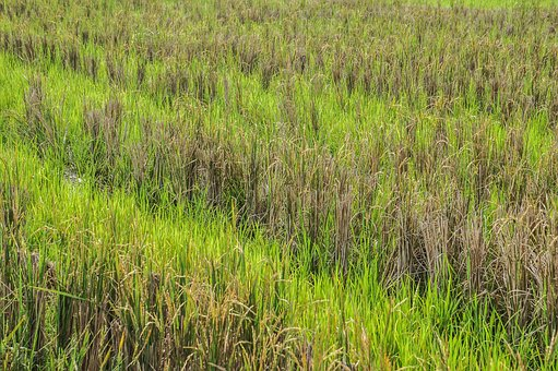 Paddy, Paddy Field, Green, Indonesia, Grass
