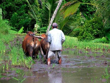 Rice Terrace, Rice, Plantation, Palm, Green, Plant